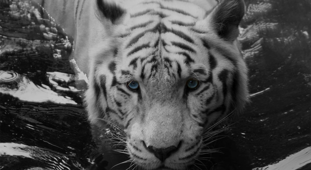 opt_white_tiger2